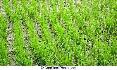 Rice Field terrace. Blowing wind