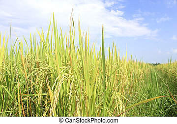 rice field under blue sky