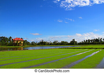 Rice field under the blue sky, Philippines