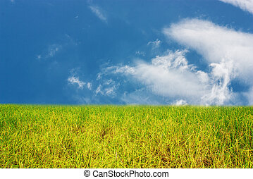 Rice field with blue sky and white cloud background