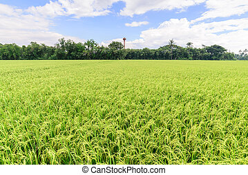 Rice field with blue sky, Suphan Buri, Thailand.