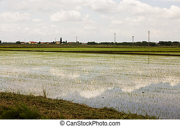 Rice field with reflection of sky