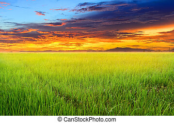 Rice field with sun rise.