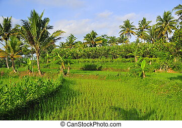 Rice Fields and Palm Trees - Stock Photo - Rice field and...