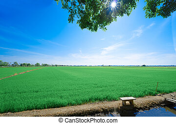 Rice fields at with blue sky. The beautiful of nature