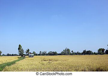 Rice fields in rural.