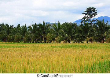 Rice fields in the countryside