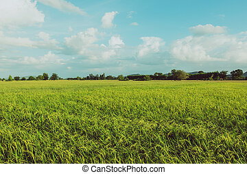Rice fields in the evening before sunset