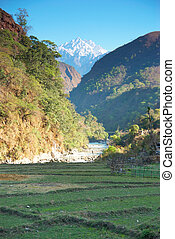 Rice fields in the himalayan hills - Green rice fields ...