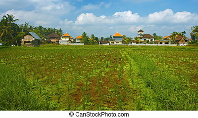 Rice fields in the village. Bali, Indonesia. FullHD 1080p...