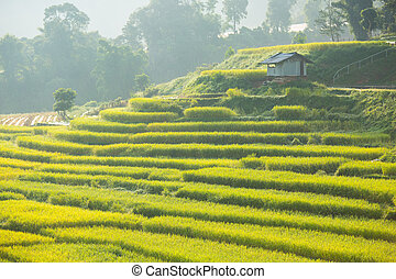 Rice fields ,landscape terraced agriculture