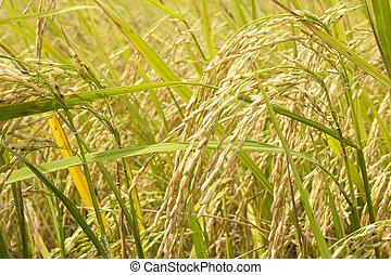 Rice fields of Harvest