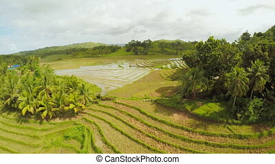 Rice fields of the Philippines. The island of Bohol....