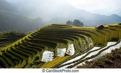 Rice fields on terrace Vietnam
