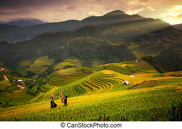 Rice fields on terraced of Mu Cang Chai, YenBai, Rice fields...