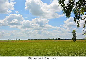 Rice fields sky and The tree