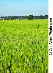 Rice Fields - Photo of lush rice fields in Nepal