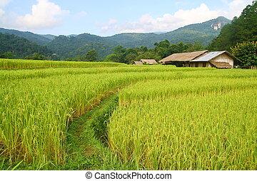 rice fields view, Thailand  - rice fields view in Thailand