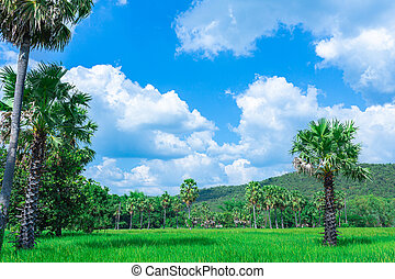 Rice fields with palm trees with a beautiful view of the sky and mountains