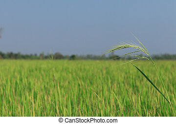 Rice flowering in the fields at morning.