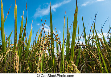 Rice grain and background of the sky.
