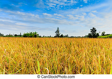 Rice grains in the sun And blue sky