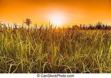 Rice grains in the sun And morning fog