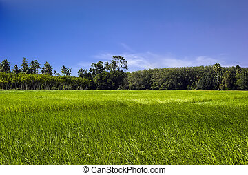 Rice green field in the south of Thailand