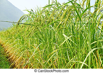 Rice grown in the green fields