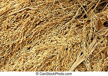 Rice harvest - Freshly harvested hill rice from western...