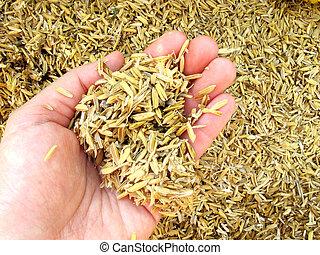 Rice husk on hand - Rice husk (chaff) on human hand