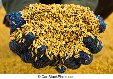 Rice in farmer hands