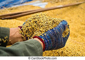 Rice in farmer hands