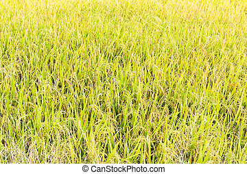 rice in field ready for harvest