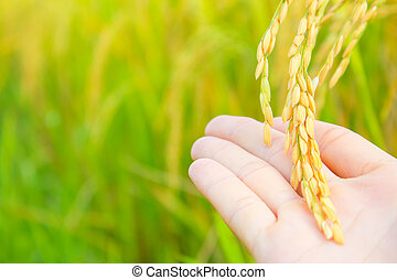 rice in man hands at north Thailand, nature food landscape background.