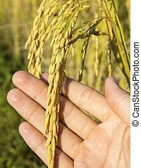 rice in man hands.