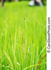 Rice in the field.