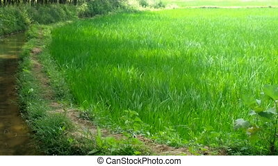 Rice is planted by hand. India, Kerala - Staple food. Rice...