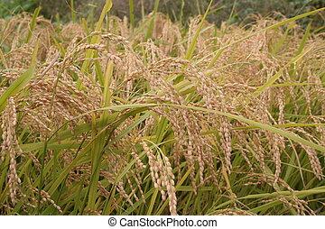 Rice IV