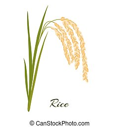 Rice. Leaves and spikelets of rice on a white background....