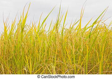 Rice of Harvest