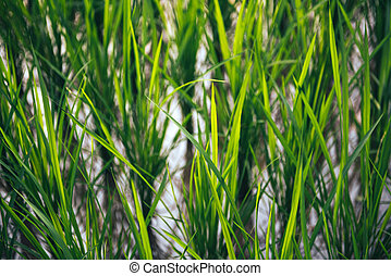 Rice on field. Green leaves background