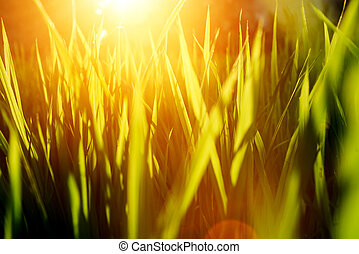 Rice on field. Green leaves background with sunrise