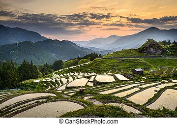 Rice Paddies in Japan - Rice Paddies in Kumano, Japan.