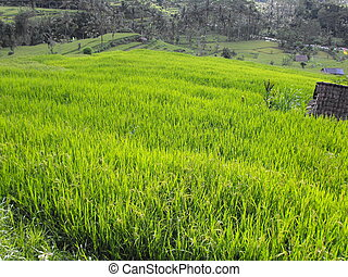 Rice paddy - A rice paddy in Bali