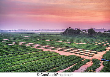 Rice Paddy fields in the country side Cambodia