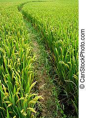 Rice paddy in autumn