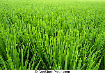 Rice paddy - New  seedlings in a rice paddy