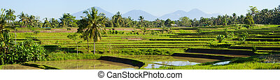 Rice paddy - Panorama of beautiful rice field full of water...