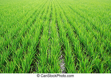 Rice paddy - New  seedlings of rice paddy in China